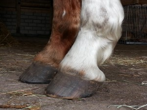 Pip: rebalancing the fore hooves