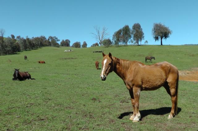 Ben, an Australian standard bred gelding at 40. Awesome!