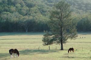 Horses and kangaroos in Tamworth