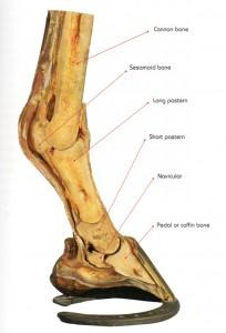horse-lower-leg