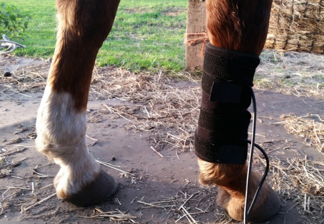The red light pads attached to Pip's tender tendon