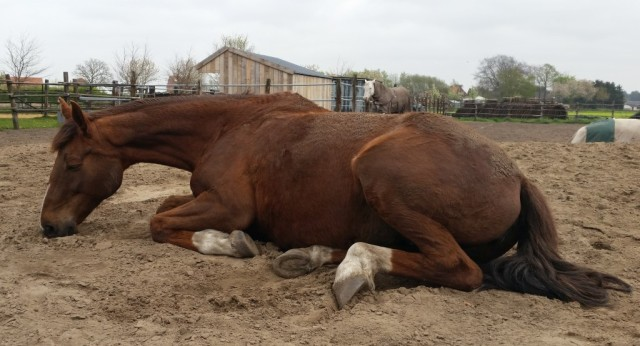 Pip resting at 4 Horses Creek in Belgium shortly before the move