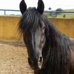 black-stallion-head
