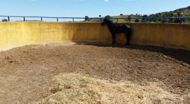 The black stallion in the longeing yard