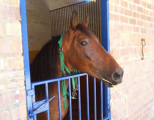 Esperanza, the horse with the green halter, incarcerated in her stable