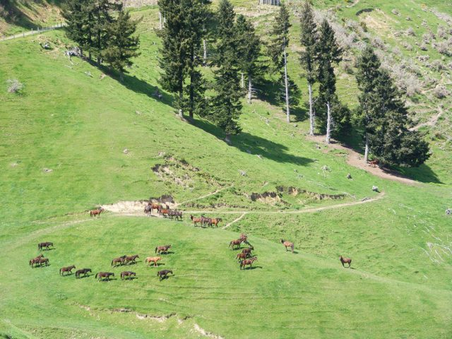 Kaimanawa wild horses in Nelson, New Zealand